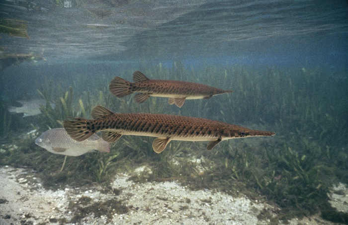 Two Gar with Tilapia, 2005