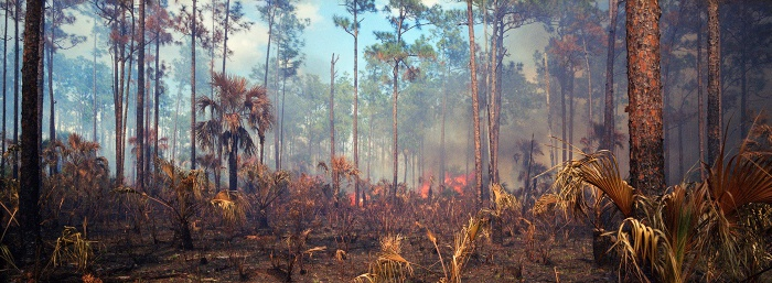 Fire in the Pines, Big Cypress #1, 2010