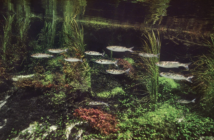 Ichetucknee Head Springs (Monet's Mullets), 2006